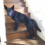 Beautiful GSD Mix needs Foster or New Home in Okinawa, Japan