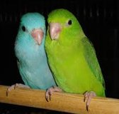 Pair of bonded parrotlets with cage in Dickson, Tennessee