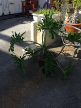 Large Potted Plant in Okinawa, Japan