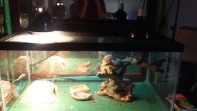 1.5 yr bearded Dragon and accessories REDUCED in Camp Lejeune, North Carolina