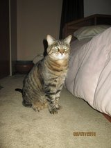 Cat for rehoming in Bolingbrook, Illinois