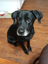 Missing Black Labrador - Male - vicinity Woodbranch Village & Roman Forest in Houston, Texas