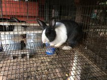 Dutch rabbits in DeRidder, Louisiana