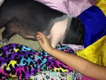 Pot belly pig in Vacaville, California