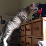 4 month old kittens fixed and with first 2 sets of shots in Bellaire, Texas