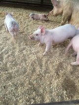 Yorkshire and duroc cross piglets in DeRidder, Louisiana