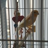 Canary with cage in Fairfield, California