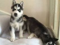 """""""Rehoming Male and Female 12 Weeks Husky Puppies for X MASS in El Paso, Texas"""