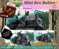 Baby Bunnies/Rabbits For Sale! in Alamogordo, New Mexico