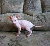 Purebred canadian Sphynx Ready Now 925-289-7236 in Los Angeles, California