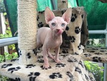canadian Sphynx Kittens For New Homes (925) 289-7236 in Los Angeles, California