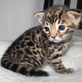 Bengal Kittens for adoption they are so lovely email us at (jacobswizy@gmail.com) in Yongsan, South Korea