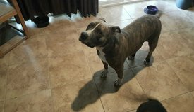 $500 reward lost pitbull joshua tree in bookoo, US