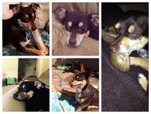 My dog Gizmo is Missing in Fairfield, California