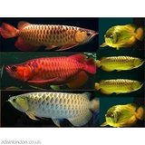 TOP QUALITY SUPER RED AROWANA FISH AND OTHERS AVAILABLE in bookoo, US