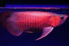 Top Quality Arowana Fish For Sale in bookoo, US