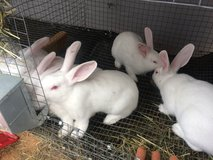 Rabbits (Bunnies) New Zealand Whites (M70) in Clarksville, Tennessee