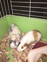 Gorgeous Guinea Pigs with or without the cage in Alamogordo, New Mexico