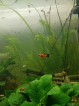 10 baby fishs (platy) in Ramstein, Germany
