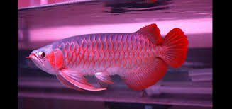 Arowana fish all specie available in Philadelphia, Pennsylvania