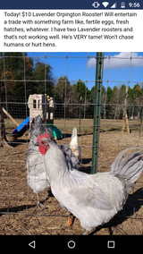 Lavender Rooster 7 months old in Perry, Georgia