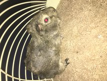 Guinea pig with cage in Lockport, Illinois