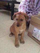 8 week old puppy - contact info in post in Ramstein, Germany