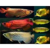 Arowana fishes for sale in bookoo, US