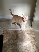 2 year old male loving cat in Temecula, California