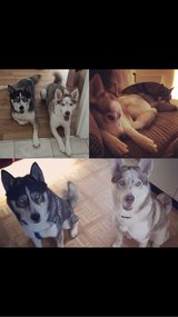 2x huskies (1 male, 1 female) in Cambridge, UK