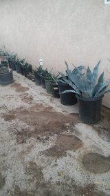 For sale Agave  three different kind of agave , green , blue , yellow . in 29 Palms, California