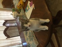 Silver/gray neutered kitten in DeRidder, Louisiana