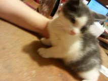 2 10 week old female Kittens in 29 Palms, California