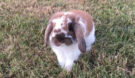Holland Lop in Perry, Georgia