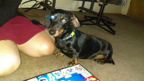 Female Dachshund in Alamogordo, New Mexico