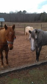 2 HORSES FOR SALE in Perry, Georgia