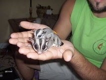 Sugar gliders in Vista, California