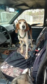 Coon hound needs forever home in Camp Lejeune, North Carolina
