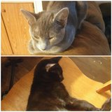 Male and Female cat (WILL NOT SEPARATE) in Lawton, Oklahoma