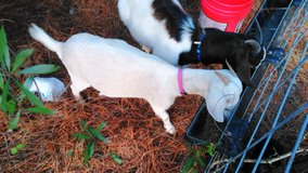 Pair of male and female goats in DeRidder, Louisiana