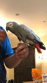 African Grey Parrot For Adoption in Riverside, California
