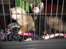 2 Ferrets(1 albino 1 black) and 2 1/2 story black cage 4 months old males for sale in Fort Bragg, North Carolina