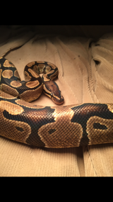 Very friendly fancy ball python in Beaufort, South Carolina