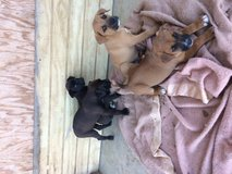 Puppies in DeRidder, Louisiana