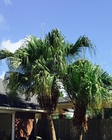 2 Palm Trees in Baytown, Texas