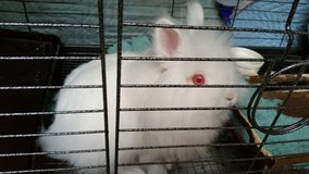 "Dwarf Lionhead Bunny ""Female"" in Travis AFB, California"