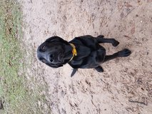 Male and female dog free in Leesville, Louisiana
