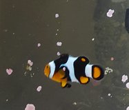 True percula clown fish in Watertown, New York