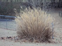 Free ornamental grass - ? pampas in Fort Campbell, Kentucky