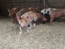 Crossbred bekshire and duroc pigs in DeRidder, Louisiana
